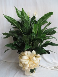 Peace Lily Plant Large from Carter's Flower Shop in Farmville, VA