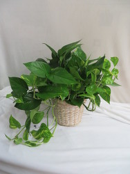 Pothos Basket from Carter's Flower Shop in Farmville, VA