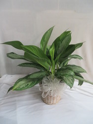 Chinese Evergreen from Carter's Flower Shop in Farmville, VA