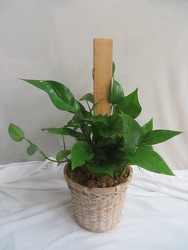 Pothos on a Pole from Carter's Flower Shop in Farmville, VA