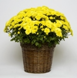 Yellow Crysanthemum from Carter's Flower Shop in Farmville, VA
