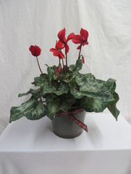 Cyclamen from Carter's Flower Shop in Farmville, VA