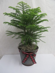 Norfolk Island Pine from Carter's Flower Shop in Farmville, VA
