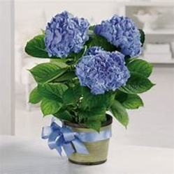 Blue Hydrangea from Carter's Flower Shop in Farmville, VA