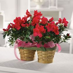Azalea Peanut Basket from Carter's Flower Shop in Farmville, VA